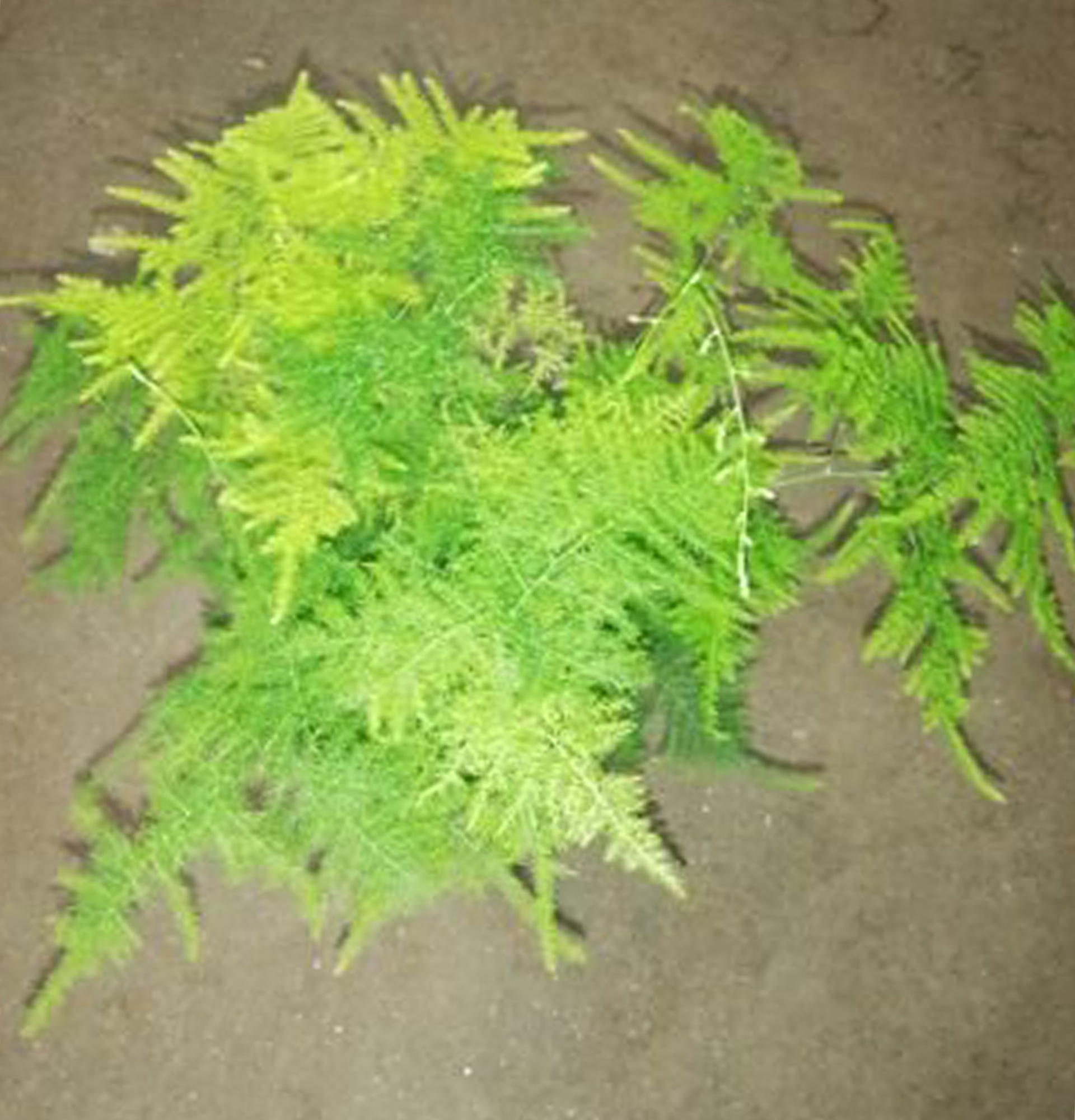 Аспарагус найтонший фото (Asparagus benuissimus)