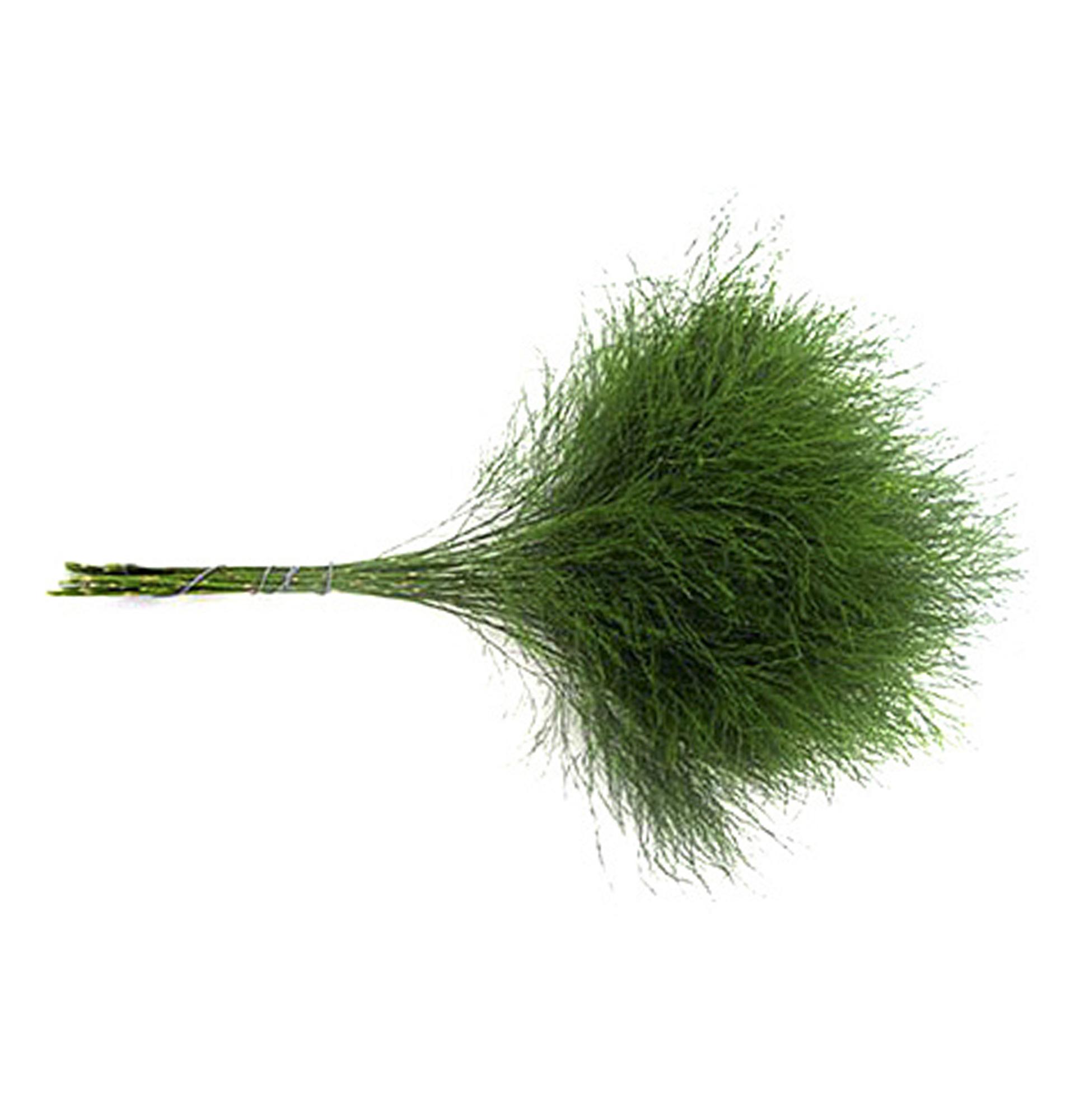 Аспарагус Тріферн (Asparagus Treefern)
