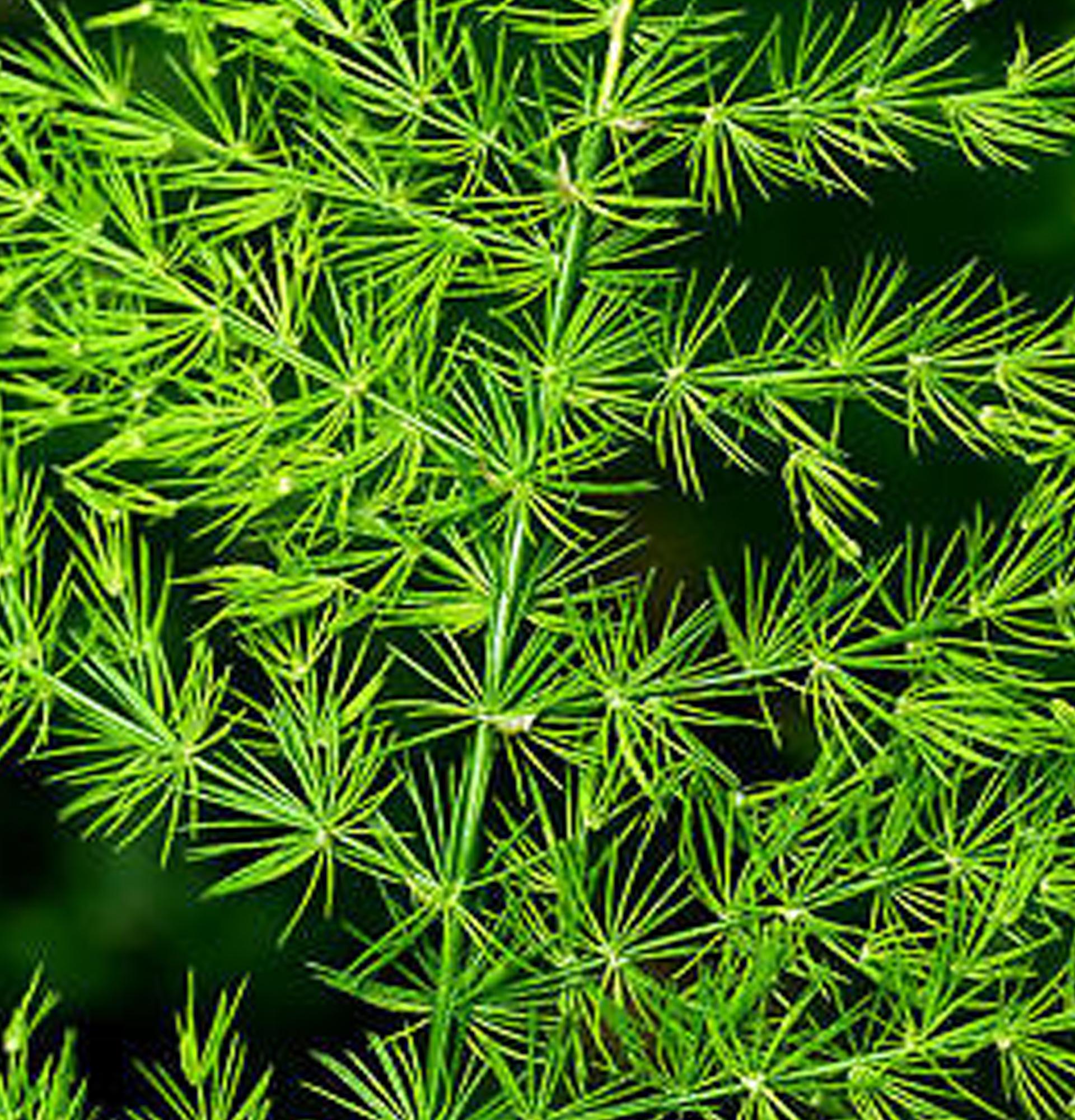 Аспарагус пірамідальний (Asparagus pyramidalis)