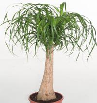 Бокарнея відігнута фото - ноліна (Beaucarnea recurvata)