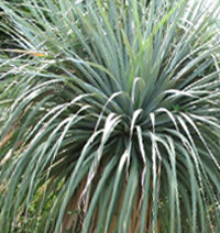 Бокарнея Нельсона фото - ноліна (Beaucarnea, Nolina nelsonii)