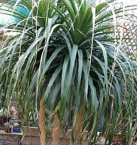 Бокарнея Гватемальська фото - ноліна (Beaucarnea, Nolina guatemalensis)