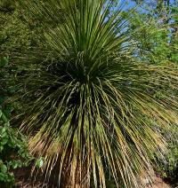Ноліна матапська фото - бокарнея (Nolina matapensis)