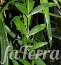 Хамедорея высокая - бамбуковая пальма