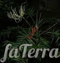Хамедорея одноцветная - как быстро растет хамедорея?
