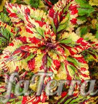 Колеус штормовая погода фото - цветы для сада