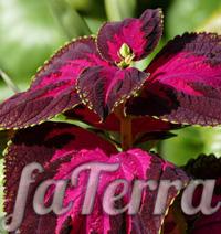 Колеус Блюмe фото - комнатное растение крапивка