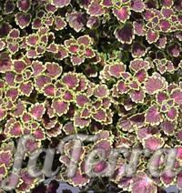 Колеус Ренельта фото - домашняя крапивка