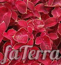 Колеус Красный бархат фото - крапивка красная