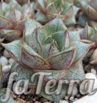Фото Ехеверія пурпузорум (Echeveria purpusorum)