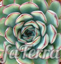 Фото вазон Ехеверія пулідоніс (Echeveria pulidonis)