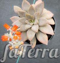 Ехеверія карніколор фото (Echeveria carnicolor)
