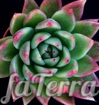 Квітка Ехеверія Міранда фото (Echeveria Miranda)