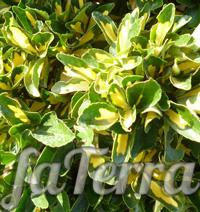 Бересклет ауреус фото - растение божьи глазки