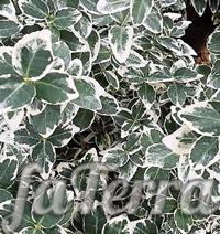 Бересклет Форчуна фото - цветы божьи глазки