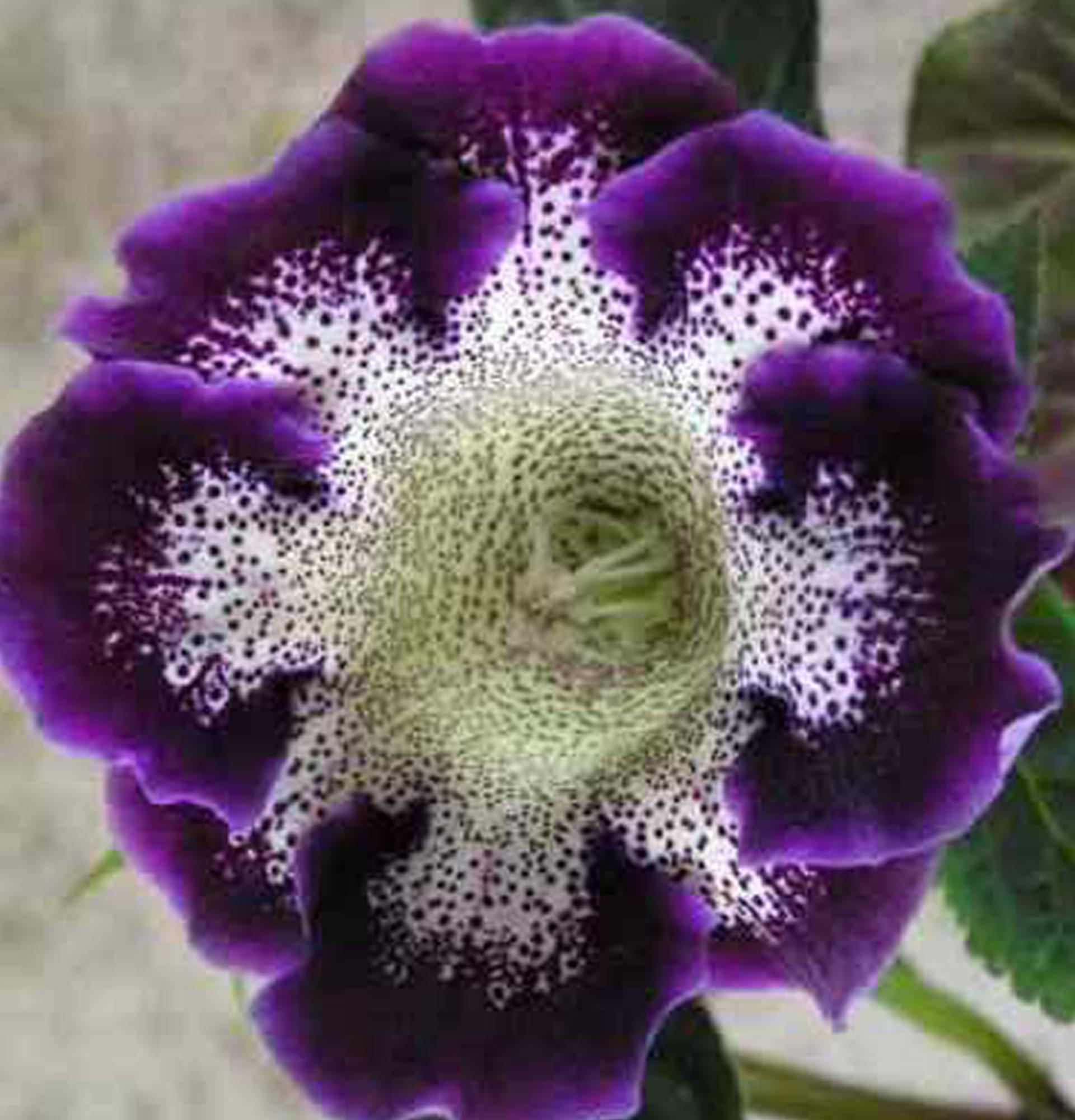 Глоксинія Тигрина Блю (Gloxinia Tigrina Blue)