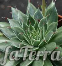 Граптопеталум нитконосний фото (Graptopetalum filiferum)