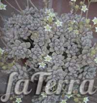 Граптопеталум Мендоза фото (Graptopetalum Mendozae)