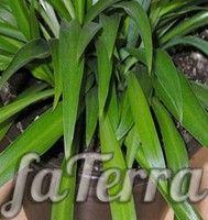Хлорофитум капский (Chlorophytum capense)