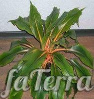 Хлорофитум крылатый (Chlorophytum amaniense)