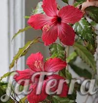 Гібіскус Купера фото (Hibiscus rosa-sinensis var.Cooperi)