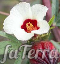 Гібіскус сабдаріфа фото (Hibiscus sabdariffa)