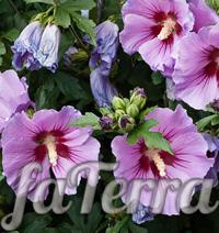 Гібіскус сирійський фото (Hibiscus syriacus)