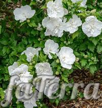 Гібіскус вайт шифон фото (Hibiscus syriacus White Chiffon)