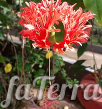 Гібіскус розсіченопелюстковий фото (Hibiscus schizopetalus)