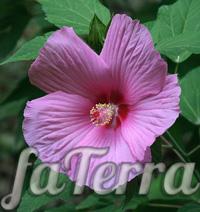 Гібіскус гібридний фото (Hibiscus hybridus)