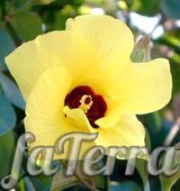 Гібіскус липолистий фото (Hibiscus tiliaceus)