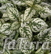Гіпоестес «Конфетті білий» фото (Hypoestes Confetti white)