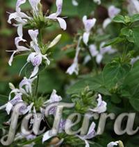 Гіпоестес остистий білий фото (Hypoestes aristata white)