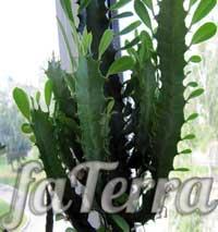 Молочай трикутний (Euphorbia trigona)