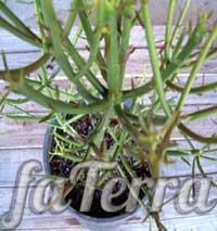 Молочай тірукаллі (Euphorbia tirucalli)