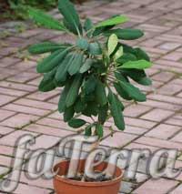 Молочай біложильчастий (Euphorbia leuconeura)