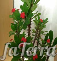 Молочай Міля (Euphorbia milii)