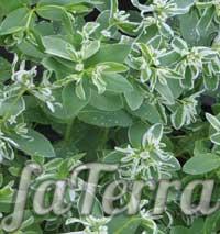 Молочай облямований (Euphorbia marginata) фото