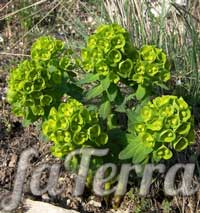 Молочай Фішера (Euphorbia fischeriana) - молочай Палласа або мужик-корінь