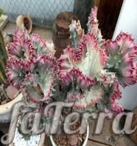 Молочай Лактея (Euphorbia Lactea) - молочай крістата (Euphorbia cristata)