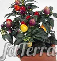 Паслен перцевидный - иерусалимская вишня