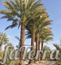 Пальма фіникова фото - Кімнатні рослини