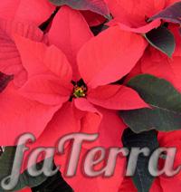 Пуансеттия премиум красный фото - пуансетия