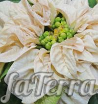 Пуансеттия Winter Rose White фото - молочная Пуансетия