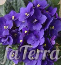 Сенполия фиалкоцветковая - фото фиалкоцветная
