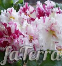 Сенполия Взбитые сливки фото - розовая