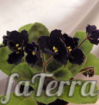 Сенполія Чорна перлина фото (Saintpaulia Black Pearl)