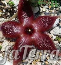 Стапелія зіркоподібна (Stapelia asterias) - фото