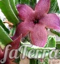 Стапелія крупноквіткова (Stapelia grandiflora) - фото
