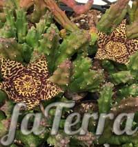 Стапелія строката (Stapelia variegata) фото